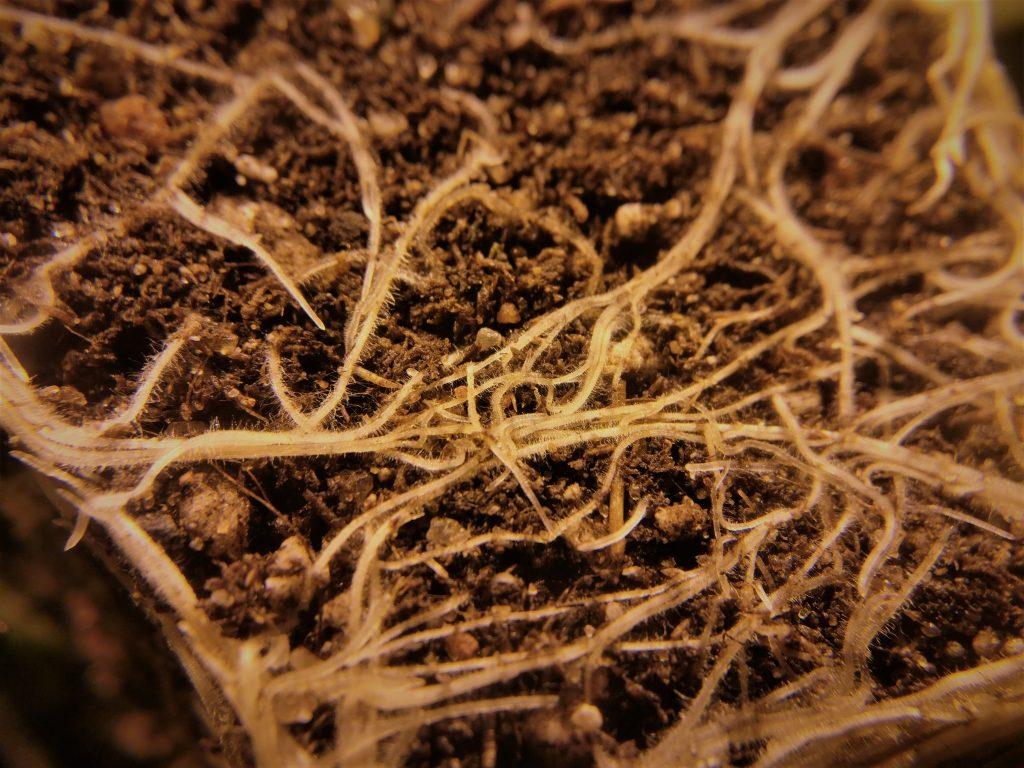 Mansikan juuret lähikuvassa