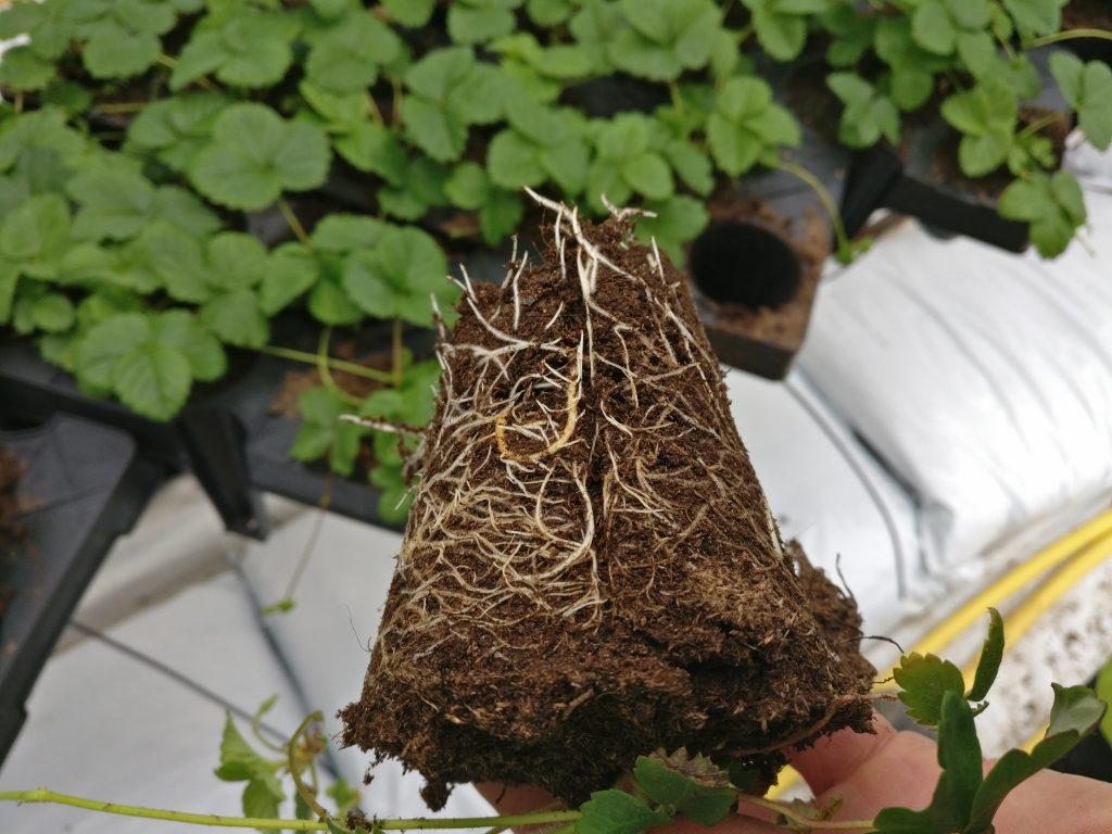 mansikan taimet netistä - kuvassa mansikan satopaakkutaimi juurtumisvaiheessa