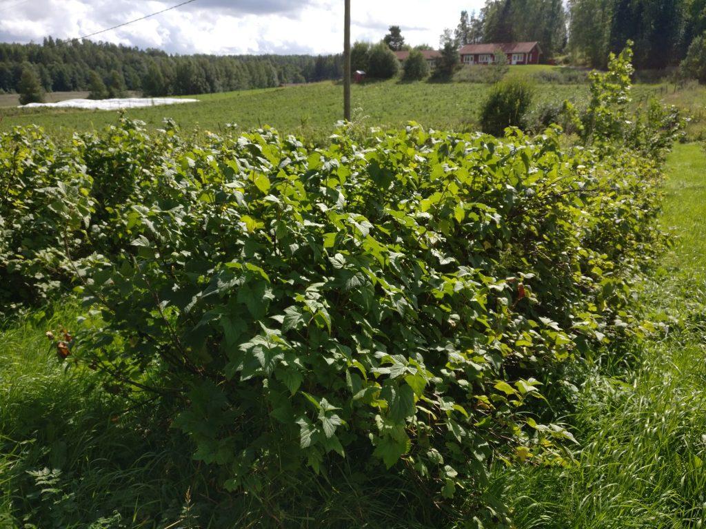 Mustaherukka kasvaa pensaassa ja nauttii auringosta sekä kosteudesta juurten ympärillä